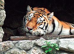 Спящий тигр