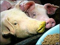 Тайваньские свиньи