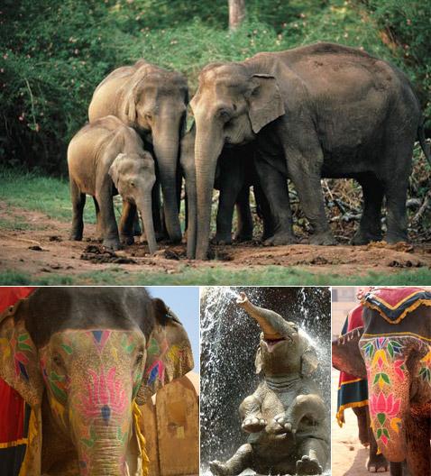 С другой стороны, в природе чего только не бывает. Вот, к примеру, в прошлом году в индийском штате Мегхалая (Meghalaya) были замечены шестеро слонов, толпившихся у высоковольтной линии. Уж не знаем, как этот эстетский вид наслаждения назвать поточнее… Короче говоря, они получали электрическое удовольствие. Индия. Метафизика… (фото с сайтов globosapiens.net, treehugger.com, britannica.com, wanderlustandlipstick.com)